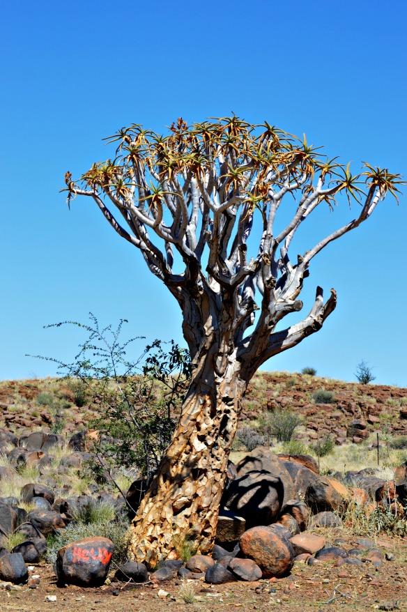 Este áloe es indígena de Sudáfrica pero también se encuentra en Namibia