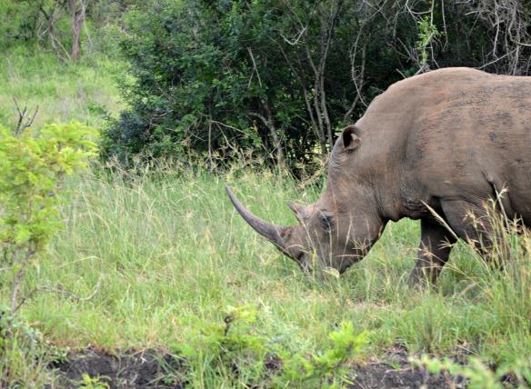 En Hluhluwe-Imfolozi hay unos 1600 ejemplares de rinoceronte blanco