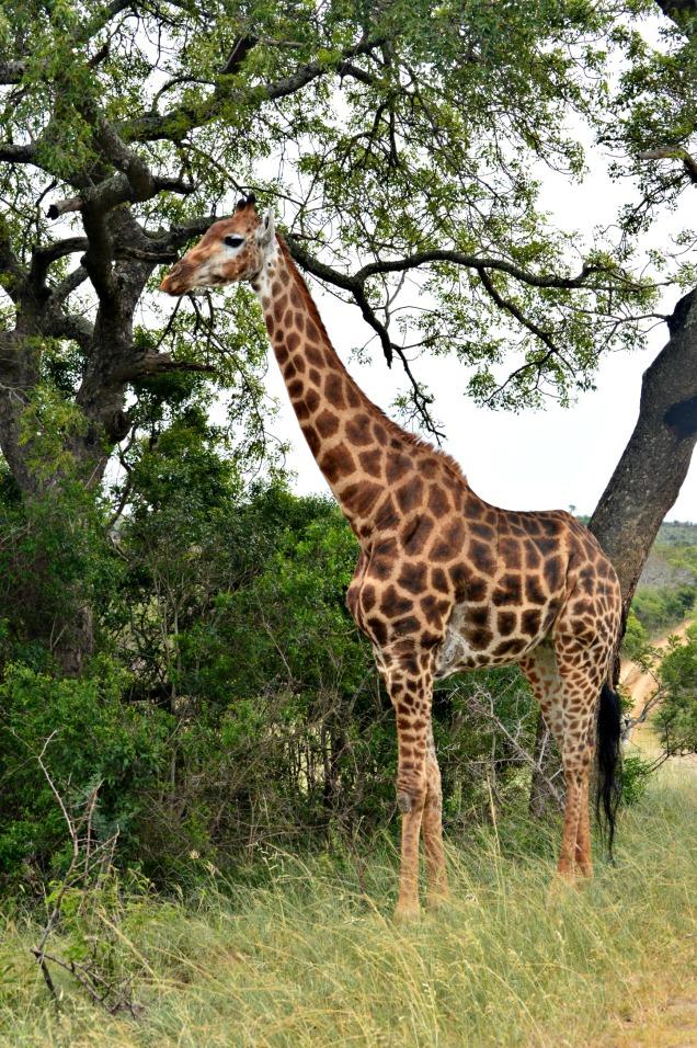 Las jirafas adultas pueden alcanzar una altura de 5 a 6 metros