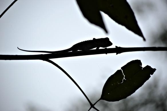 El camaleón se esconde tras la noche en Andasibe (Madagascar)
