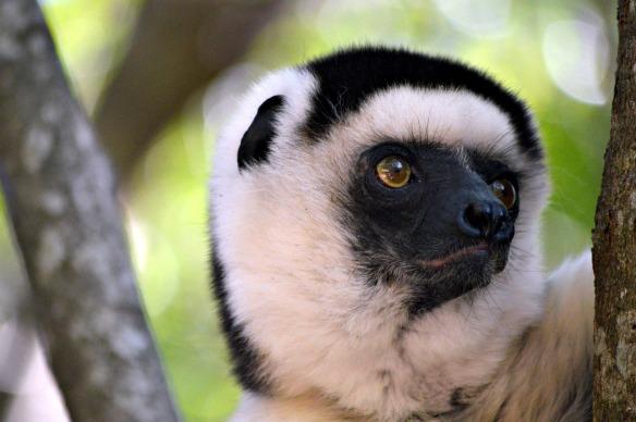 El sifaka de Verreaux está considerado en peligro de extinción