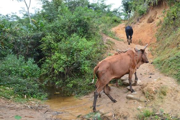 La posesión de cebúes en Madagascar es reflejo de la riqueza del poseedor