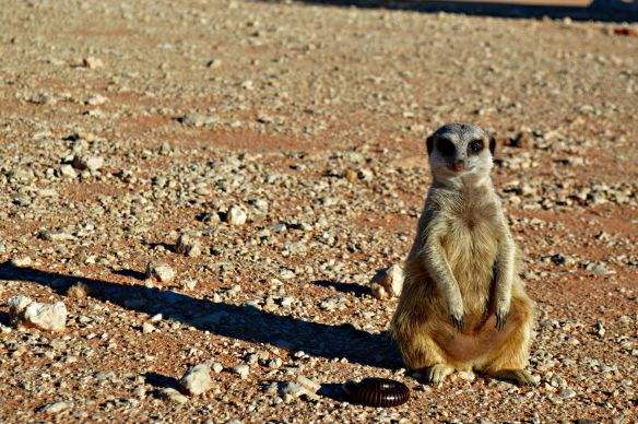 suricato-sudafrica